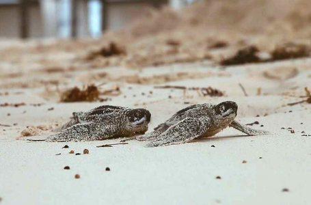 Hard Rock Hotel de Punta Cana promueve la conservación de tortugas marinas